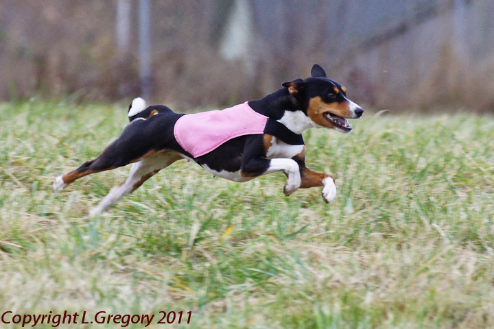 2011 Emerald Splash (also known as AKC Lure Coursing hosted